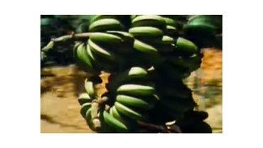 Geschichte der Banane ein Link zum Film